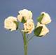 白色玫瑰花(中)-5朵1組